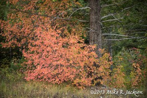 Mountain Maple Tree