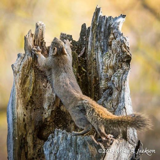 Squirrel Stretching Oct15