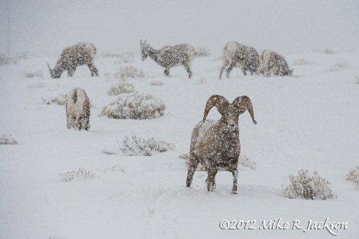 Bighorns In Snow Storm Dec24