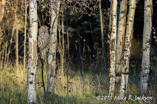 Great Gray Aspen Branch_Oct6