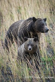 GrizzlySowCubPair1_Sept15