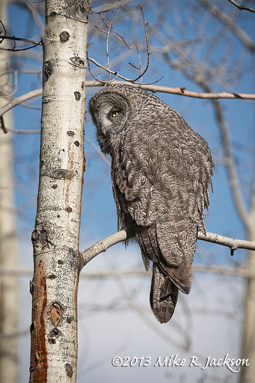 Great Gray Watching Oct20