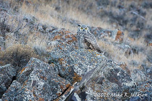Great Horned Owl Rocks Oct27