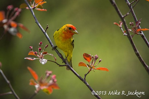 Tanager Flower Buds 1_May28