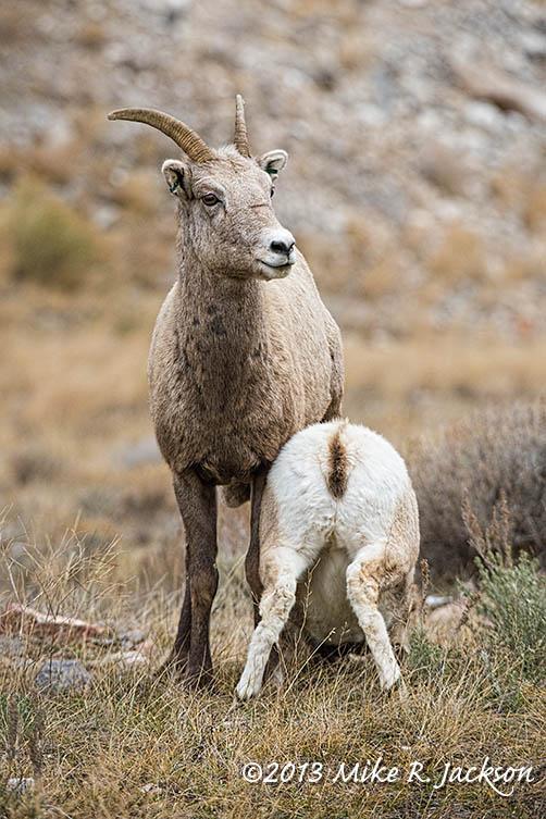 Web Bighorn Ewe Feeding Lamb Nov20