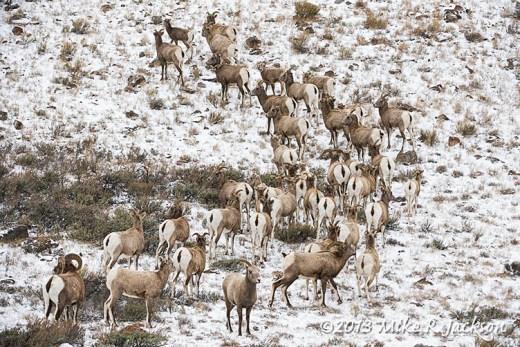 Web Bighorn Herd Nov16