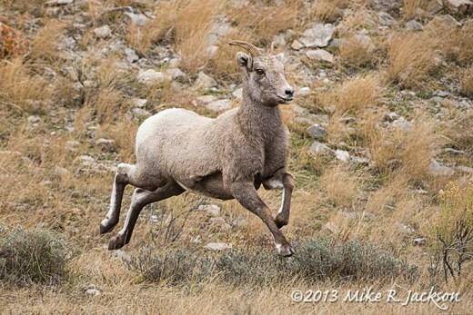Web Bighorn Running Ewe Nov20
