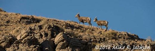 Web Ewes On Ridge Nov27