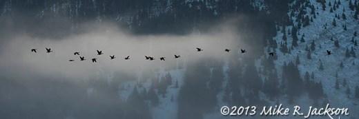 Web Flock Geese Nov27