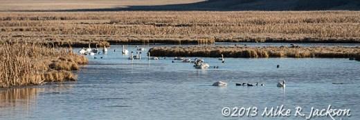 Web Migrating Swans Nov11