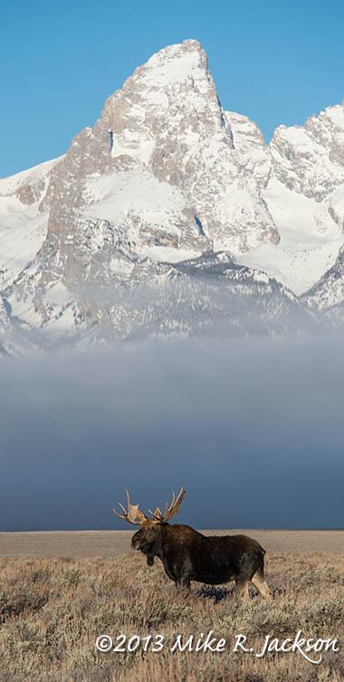 Web Moose Bull Grand Fog Nov23