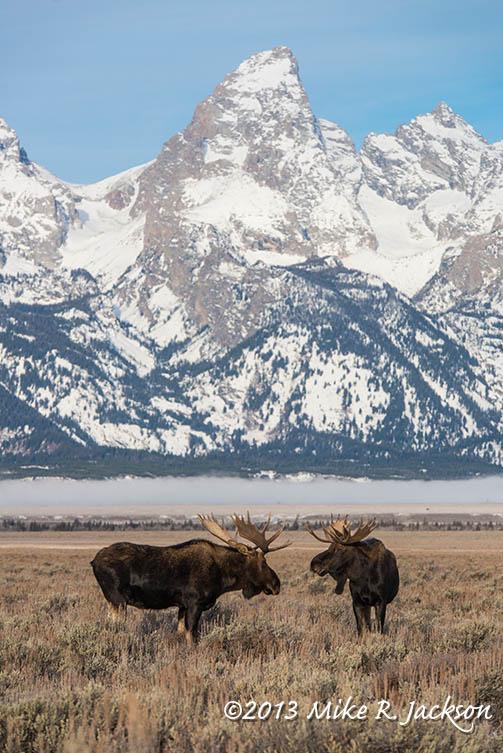 Web Moose Bulls Greeting Nov28