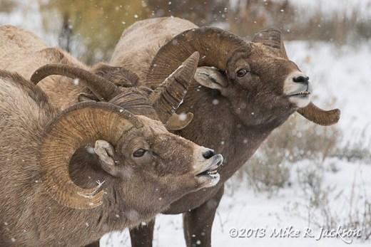 Web Rams Nov17