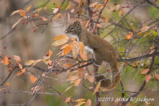 Web Red Squirrel Berries Nov6