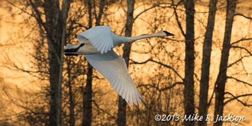 Web Swan Against Gold Nov29