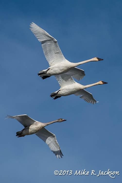 Web Swan Flight Nov24