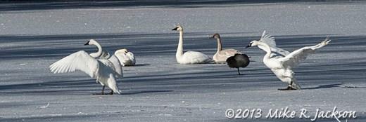 Web Swan Pond Nov24