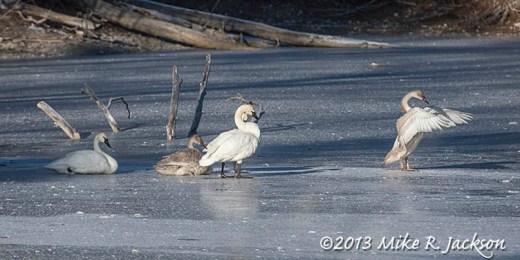 Web Swans In Shadows Nov25