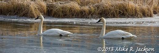 Web Swans Swimming Nov28