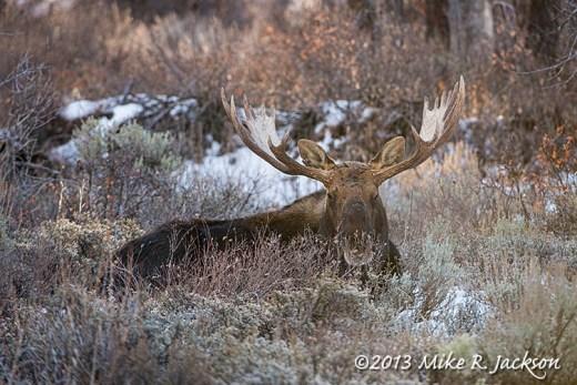 Web Wide Antlers Nov10