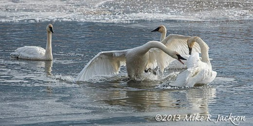 Swan Squabble Nov28