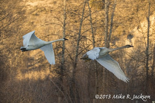 Swans Flight  Against a Gold Background Nov30