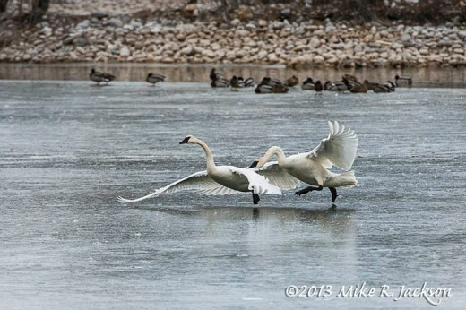 Swans On Ice Nov30
