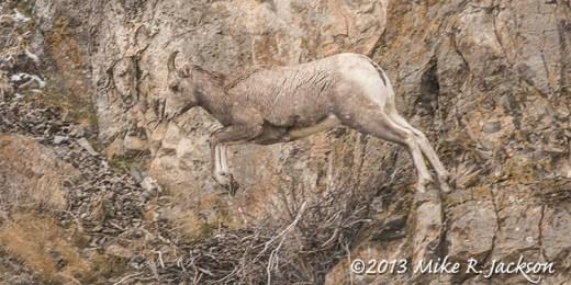 Web Ewe Jumping Dec1