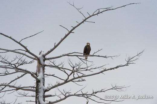 Web Immature Bald Eagle Dec21