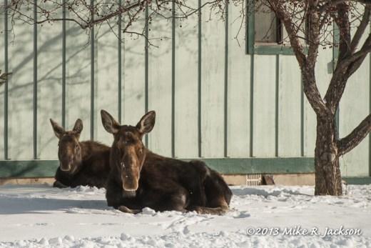 Web Moose Cow Calf Dec29