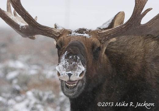 Web Moose Face Dec7