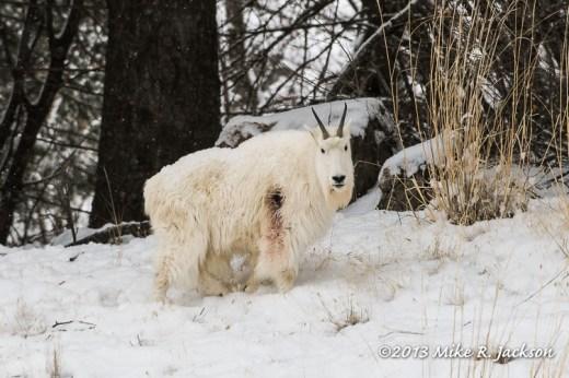 Web Mtn Goat Wound Dec21