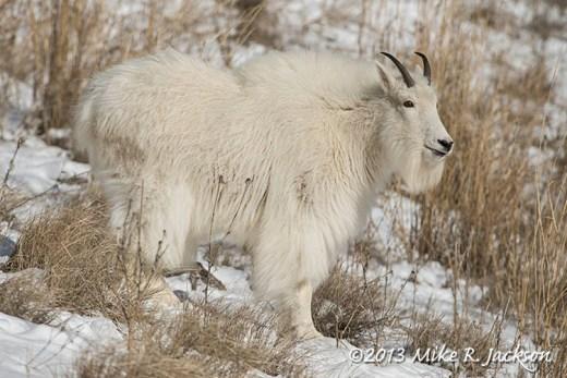 Web Nanny Goat Dec11