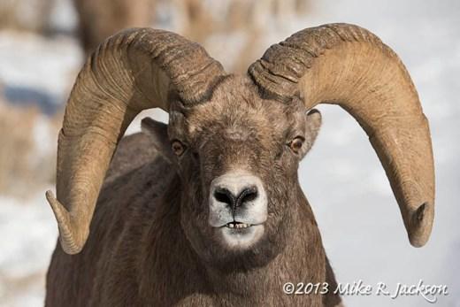 Web Ram Portrait Dec3