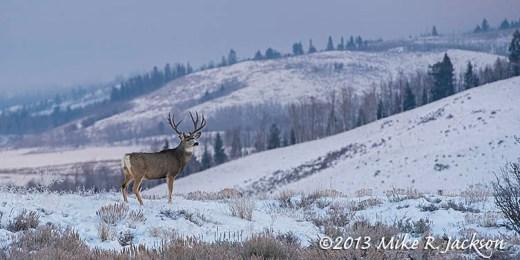 Buck Mule Deer  Dec14