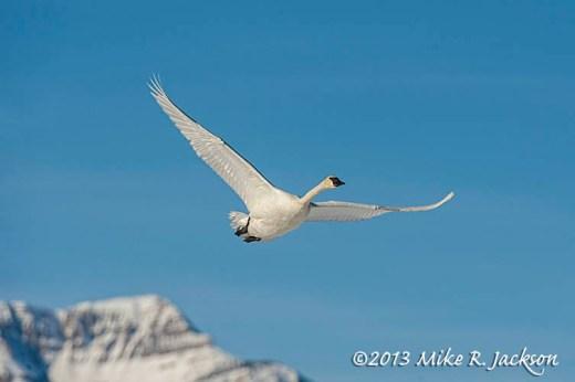 Lone Swan Dec26