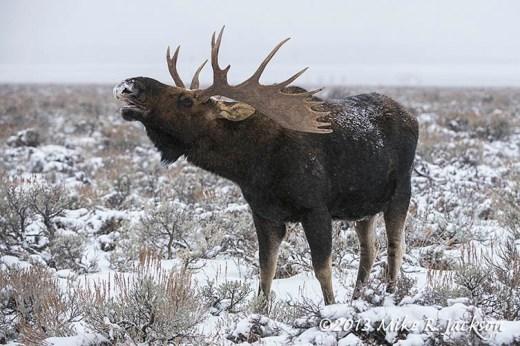Moose In Sage Dec7