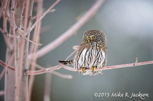 Pygmy Owl Hunting Dec31