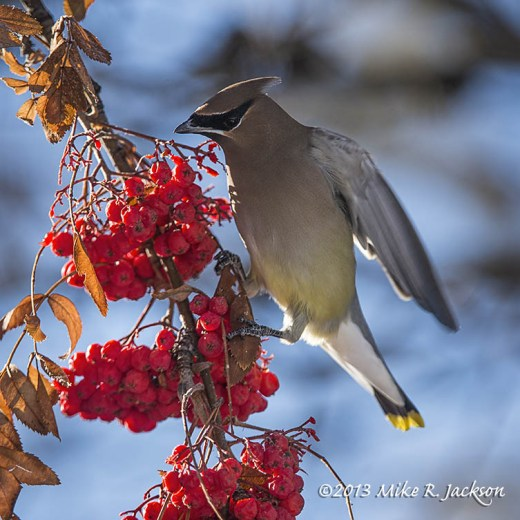 Waxwing On Berry Clumps Dec29