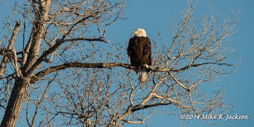 Web Bald Eagle Jan6
