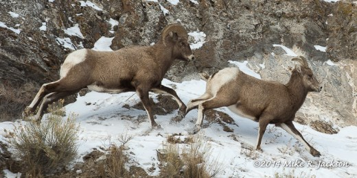 Web_ Chasing Bighorns Jan5