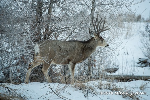 Web Buck Mule Deer Jan4