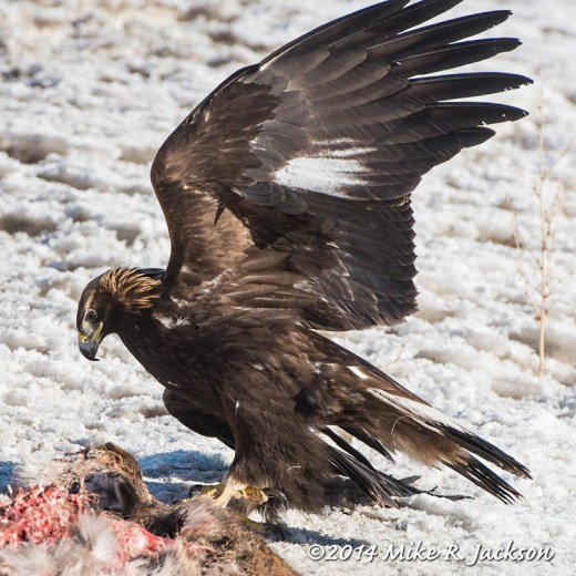 Web Golden Eagle Jan24