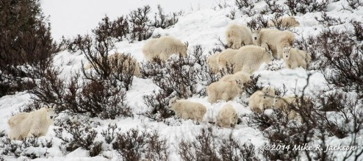 Web Mtn Goat Herd Jan11