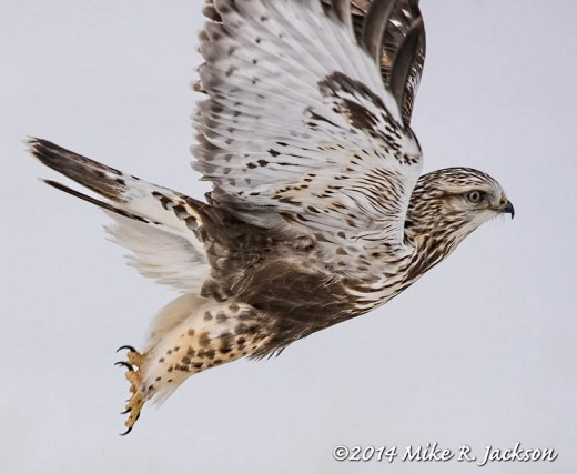 Web Ruff Legged Hawk Jan22