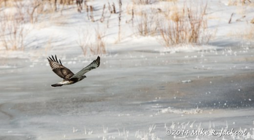 Web Ruff Legged Hawk Jan25