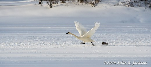 WebSwan Take Off Jan30