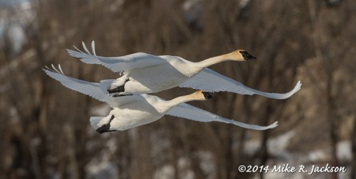 Web_SwansPairTakeOff_Jan28