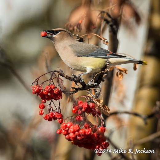 Web Waxwing With Berry Jan14