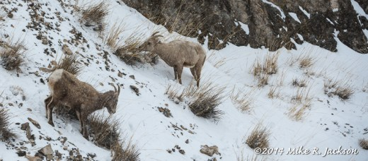 Web Bighorn Ewes Snow Feb12